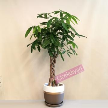 Pachira-Para Ağacı