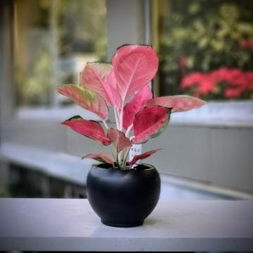 Aglaonema Pink Anjamani