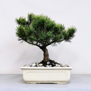 Çam Bonsai (Pinus thunbergii)