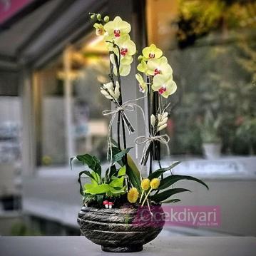 Sarý Orkide -Miraflore