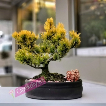 Pinus Wintergold Bonsai
