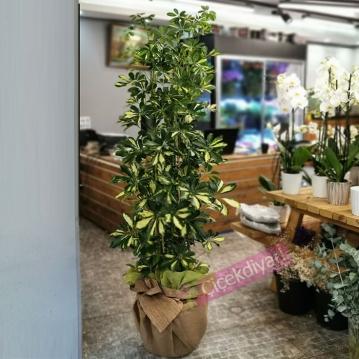 Schefflera Arboricola - 4 Köklü