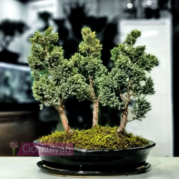 Squmata Blue Orman Bonsai