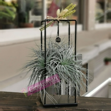 Tillandisia Air Plant