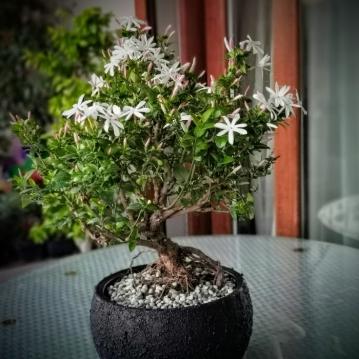 Yasemin Çiçeði Bonsai
