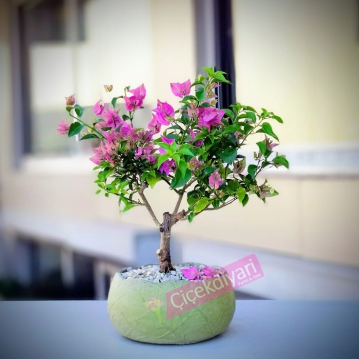 Begonvil Bonsai