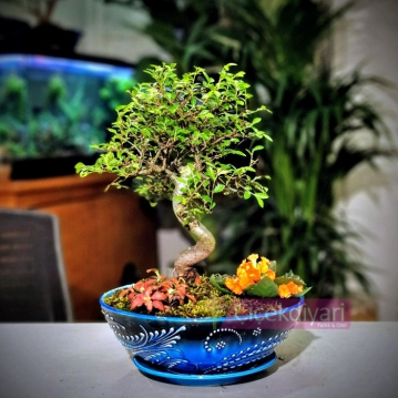 Zelkova Bonsai- Phitonia
