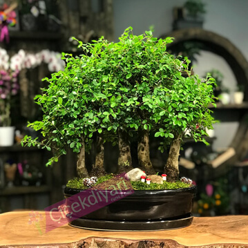 Bonsai Ormaný