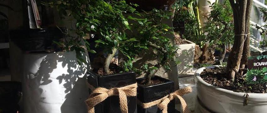 Bonsai Ağacı Yetiştirme Sanatı